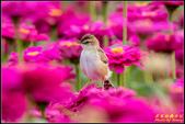 幸福水漾公園扇尾鶯:IMG_14.jpg