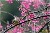 福山櫻花道‧冠羽畫眉花鳥圖:IMG_19.jpg