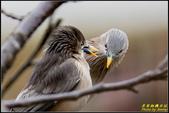 栗尾椋鳥花鳥圖:IMG_02.jpg