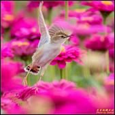 幸福水漾公園扇尾鶯:IMG_16.jpg