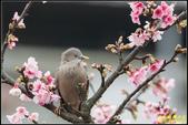栗尾椋鳥花鳥圖:IMG_03.jpg