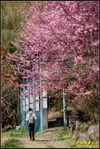 司馬庫斯櫻花季:IMG_17.jpg