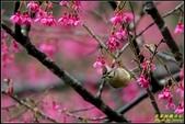 福山櫻花道‧冠羽畫眉花鳥圖:IMG_10.jpg