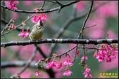 福山櫻花道‧冠羽畫眉花鳥圖:IMG_16.jpg