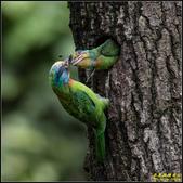 石門水庫‧五色鳥想飛:IMG_12.jpg
