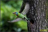 石門水庫‧五色鳥想飛:IMG_14.jpg