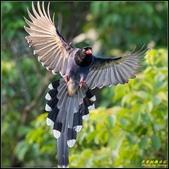 三坑自然生態公園‧台灣藍鵲遨遊飛翔:IMG_14.jpg