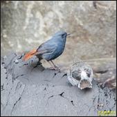 平廣路鉛色水鶇:IMG_20.jpg