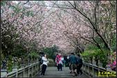 碧山巖櫻花隧道:IMG_04.jpg