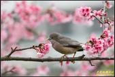 栗尾椋鳥花鳥圖:IMG_13.jpg