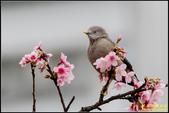 栗尾椋鳥花鳥圖:IMG_20.jpg
