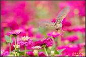幸福水漾公園扇尾鶯:IMG_18.jpg