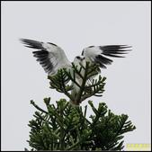 八里黑翅鳶:IMG_08.jpg