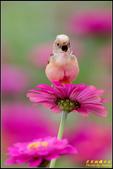 幸福水漾公園扇尾鶯:IMG_19.jpg