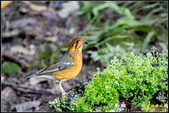 南港公園橙頭地鶇:IMG_14.jpg