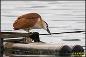 湖底埤棕夜鷺:IMG_02.jpg