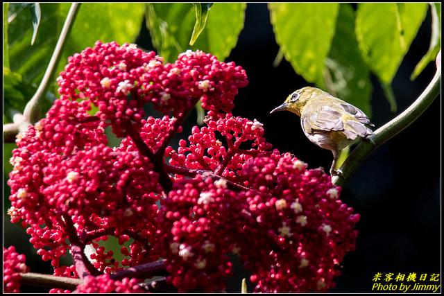 IMG_11.jpg - 台北植物園‧綠繡眼紅配綠