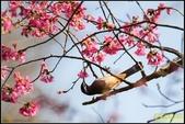 福山120巷‧櫻花百鳥圖:IMG_20.jpg