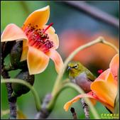 栗尾椋鳥與木棉花的相遇:IMG_26.jpg