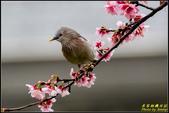 栗尾椋鳥花鳥圖:IMG_17.jpg