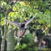 三坑自然生態公園‧台灣藍鵲遨遊飛翔:IMG_09.jpg