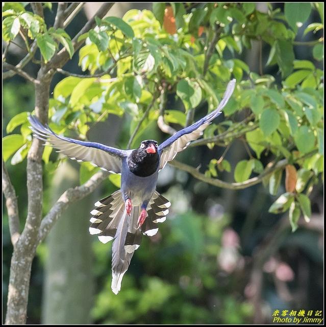 IMG_09.jpg - 三坑自然生態公園‧台灣藍鵲遨遊飛翔