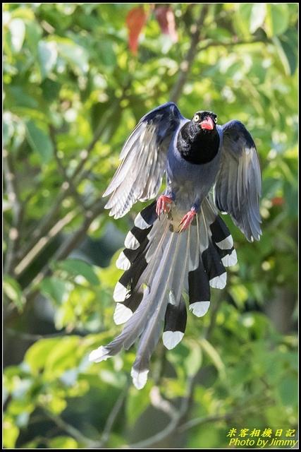 三坑自然生態公園‧台灣藍鵲遨遊飛翔:IMG_11.jpg