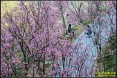 大熊櫻花林昭和櫻:IMG_05.jpg