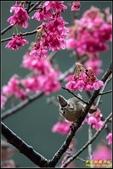福山櫻花道‧冠羽畫眉花鳥圖:IMG_14.jpg