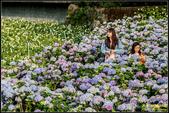 大賞園繡球花:IMG_18.jpg