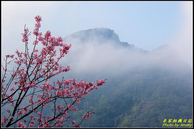 IMG_11.jpg - 大熊櫻花林昭和櫻