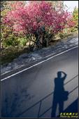 彌陀禪寺八重櫻:IMG_04.jpg
