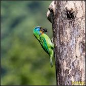 來拍五色鳥‧石門水庫:IMG_13.jpg