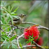 內溝溪綠啄花:IMG_08.jpg