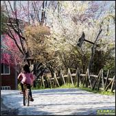 司馬庫斯櫻花季:IMG_09.jpg