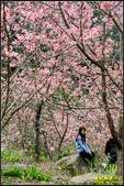 大熊櫻花林昭和櫻:IMG_19.jpg