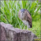 中正紀念堂翠鳥:IMG_16.jpg