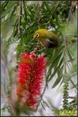 內溝溪綠啄花:IMG_16.jpg