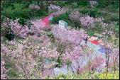 大熊櫻花林昭和櫻:IMG_20.jpg