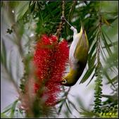 內溝溪綠啄花:IMG_17.jpg