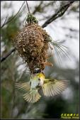 長青之森‧黑頭織布鳥築巢秀:IMG_11.jpg