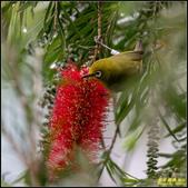 內溝溪綠啄花:IMG_18.jpg