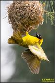 長青之森‧黑頭織布鳥築巢秀:IMG_12.jpg