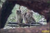 台大領角鴞:IMG_04.jpg