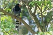 三坑自然生態公園‧台灣藍鵲遨遊飛翔:IMG_05.jpg