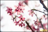 大熊櫻花林昭和櫻:IMG_13.jpg