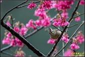 福山櫻花道‧冠羽畫眉花鳥圖:IMG_13.jpg