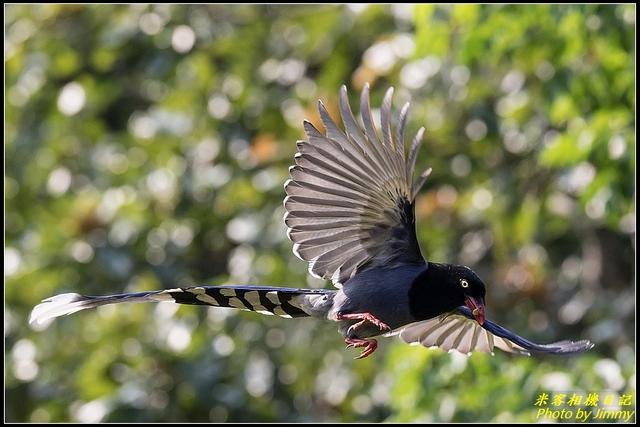 IMG_22.jpg - 三坑自然生態公園‧台灣藍鵲遨遊飛翔