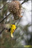 長青之森‧黑頭織布鳥築巢秀:IMG_13.jpg
