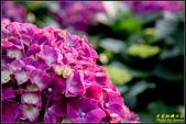 大賞園繡球花:IMG_10.jpg